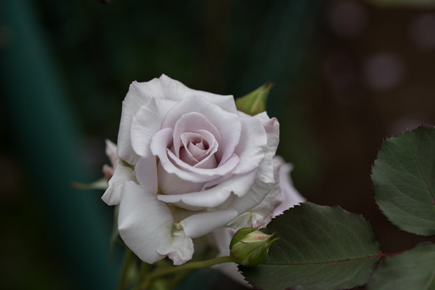 Photos: 花菜ガーデン【春バラ:ニュー・ウェーブ】2