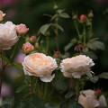 Photos: 花菜ガーデン【春バラ:タモラ】