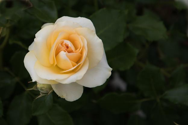 花菜ガーデン【春バラ:ロマンティック・メモリーズ】