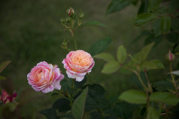 花菜ガーデン【春バラ:クロード・モネ】1
