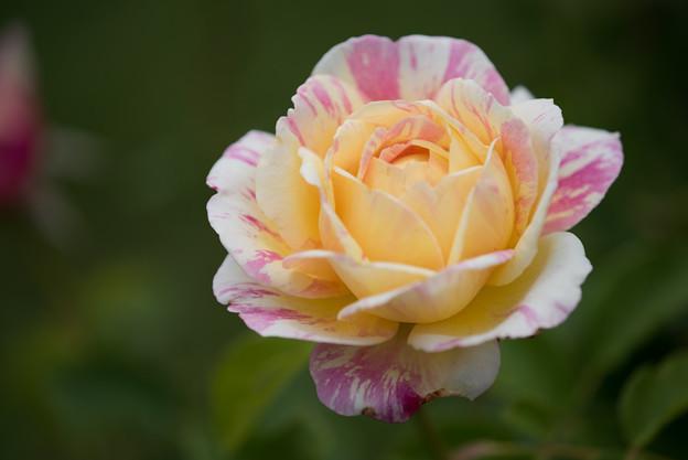 花菜ガーデン【春バラ:クロード・モネ】2