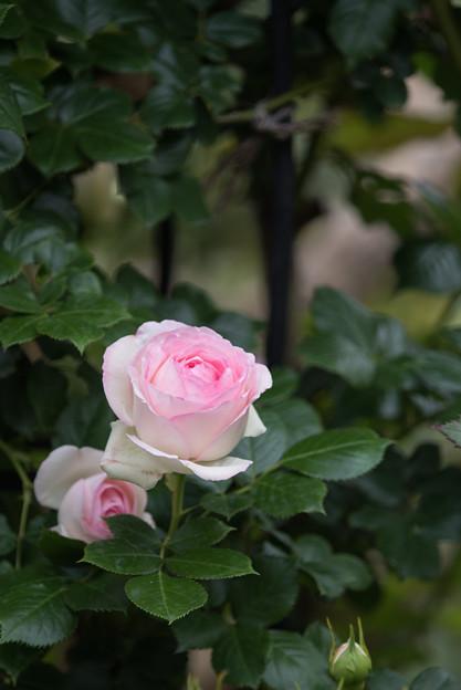 花菜ガーデン【春バラ:ピエール・ドゥ・ロンサール】