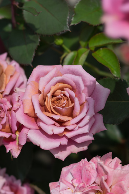 花菜ガーデン【春バラ:禅】