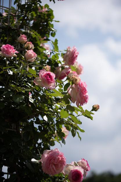 生田緑地ばら苑【春バラ:ピエール・ドゥ・ロンサール】2