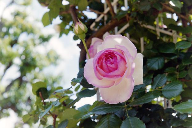 生田緑地ばら苑【春バラ:ピエール・ドゥ・ロンサール】6銀塩