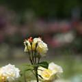 Photos: 生田緑地ばら苑【春バラ:アーサー・ベル】1