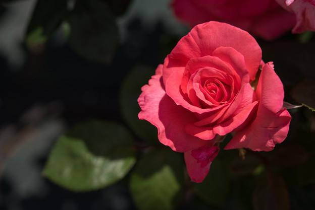 Photos: 生田緑地ばら苑【春バラ:スペルバウンド】