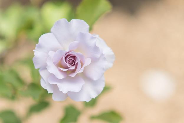 生田緑地ばら苑【春バラ:ニュー・ウェーブ】