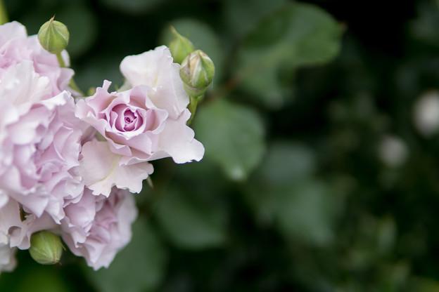 YEG【春バラ:ニュー・ウェーブ】1