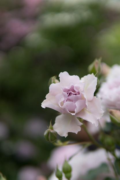 YEG【春バラ:ニュー・ウェーブ】2