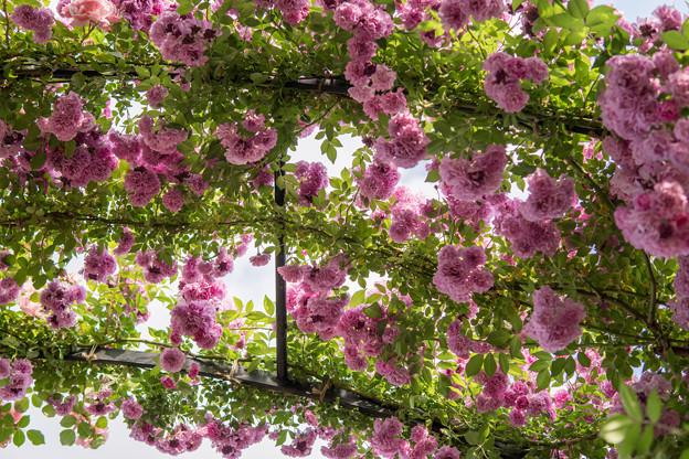 YEG【春バラ:マニントン・マウブ・ランブラー】1