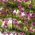 Photos: YEG【春バラ:マニントン・マウブ・ランブラー】1