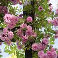 Photos: YEG【春バラ:マニントン・マウブ・ランブラー】2