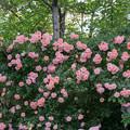 Photos: YEG【春バラ:フラワー・パワー】