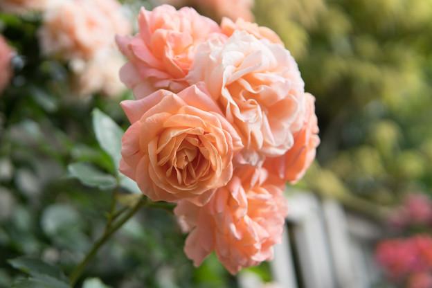 YEG【春バラ:サマー・ドリーム】