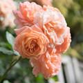 Photos: YEG【春バラ:サマー・ドリーム】