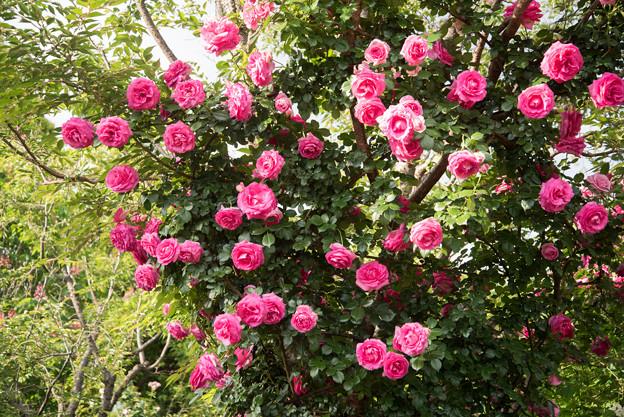 YEG【春バラ:プリンセス・アレキサンドラ・オブ・ケント】1