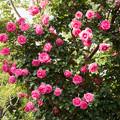 Photos: YEG【春バラ:プリンセス・アレキサンドラ・オブ・ケント】1