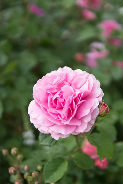 YEG【春バラ:プリンセス・アレキサンドラ・オブ・ケント】2
