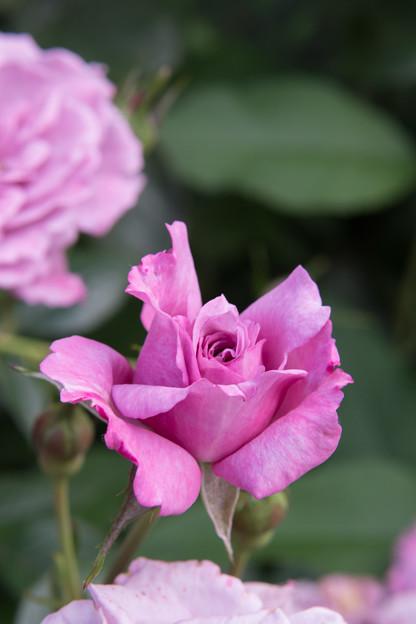 YEG【春バラ:オード・トワレ】