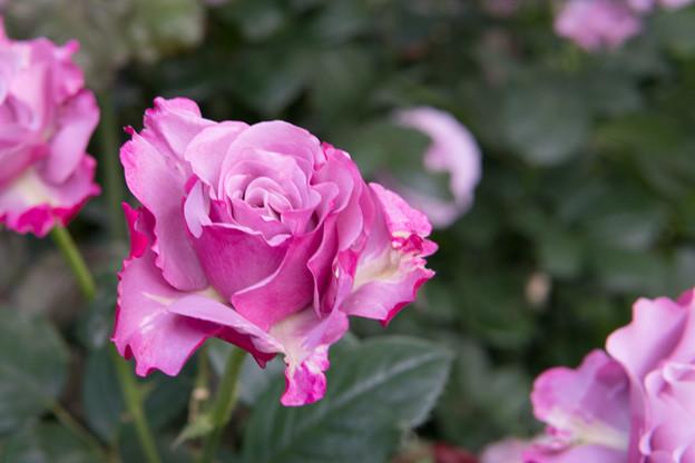 YEG【春バラ:ネプチューン】
