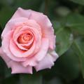 YEG【春バラ:センセーション】