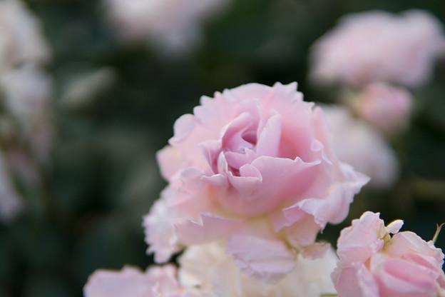 YEG【春バラ:ラ・マリエ】