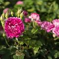 Photos: YEG【春バラ:マルキーズ・ドゥ・メルトイユ】
