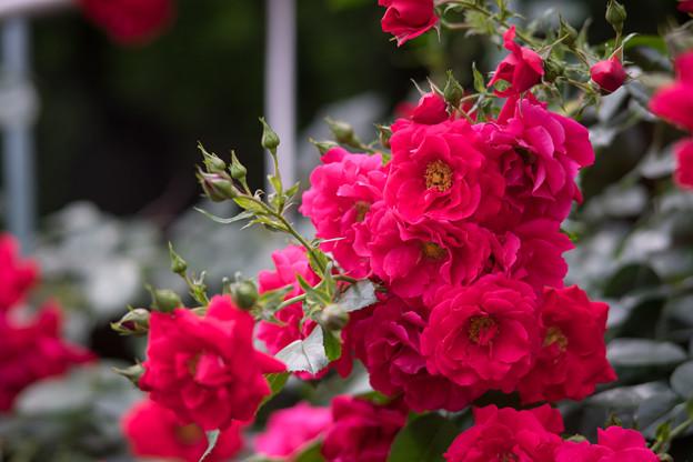 神代植物公園【春バラ:トラディション'95】1