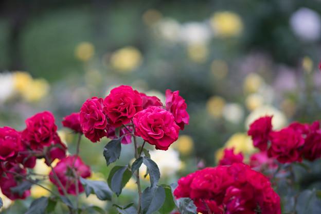 神代植物公園【春バラ:ユーロピアーナ】1