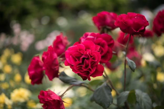 神代植物公園【春バラ:ユーロピアーナ】2