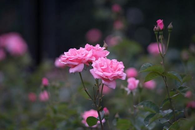 神代植物公園【春バラ:クイーン・エリザベス】2