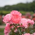 Photos: 神代植物公園【春バラ:シャルダン・ドゥ・フランス】1