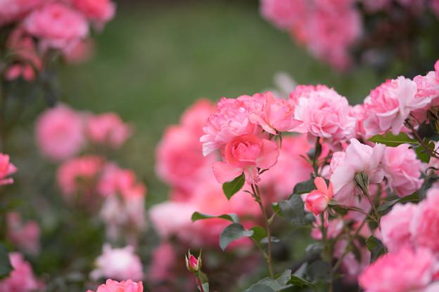 神代植物公園【春バラ:シャルダン・ドゥ・フランス】2