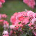 Photos: 神代植物公園【春バラ:シャルダン・ドゥ・フランス】2