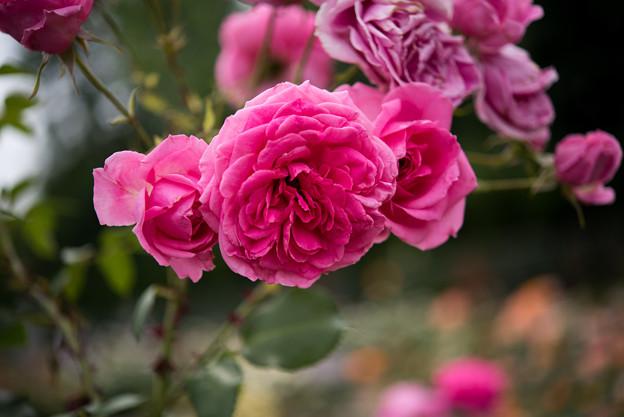 神代植物公園【春バラ:パレード】