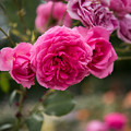 Photos: 神代植物公園【春バラ:パレード】