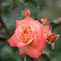Photos: 神代植物公園【春バラ:マジョレット】