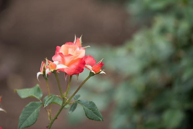 神代植物公園【春バラ:プリンセス・ミチコ】