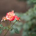 Photos: 神代植物公園【春バラ:プリンセス・ミチコ】