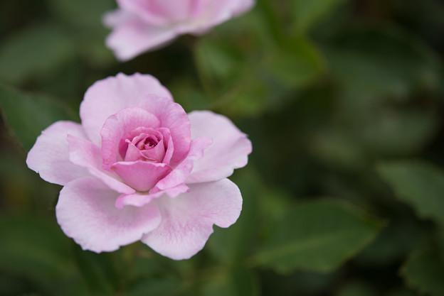 神代植物公園【春バラ:コティリオン】