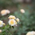 神代植物公園【春バラ:ムーン・スプライト】