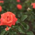 神代植物公園【春バラ:ローラ'81】