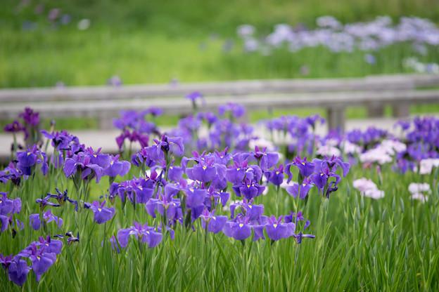 神代植物公園【花菖蒲】2