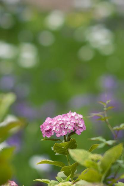 正覚寺【紫陽花】4