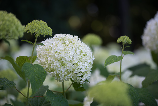 相模原北公園【紫陽花: アナベル】4