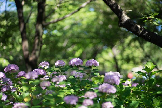 相模原北公園【紫陽花: 西洋アジサイ(赤)】4
