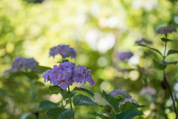 相模原北公園【紫陽花: センセーション】1