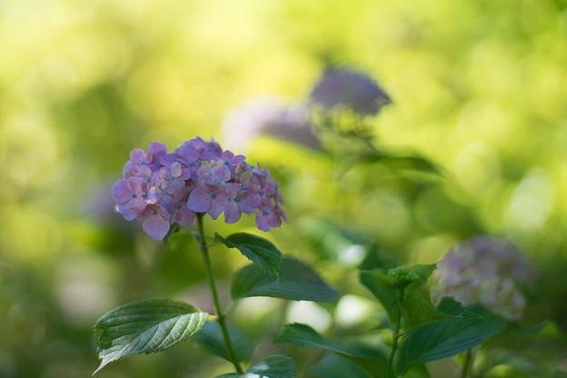 相模原北公園【紫陽花: センセーション】3