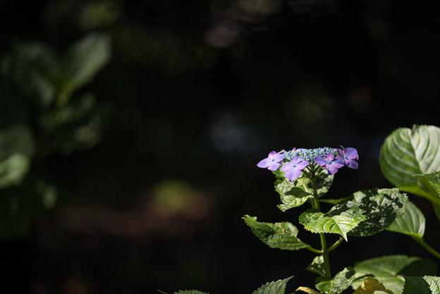 相模原北公園【紫陽花: リベラ】1